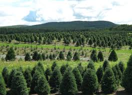 our wholesale vermont christmas trees