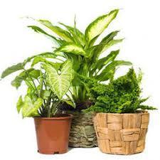 indoor plants india indoor plants wholesale price mandi rate for indoor plants