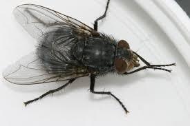 Flies In Backyard Large Blue Black Loud Fly The Backyard Arthropod Project