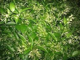 Most Fragrant Jasmine Plant - what is the most fragrant plant you have ever grown quora