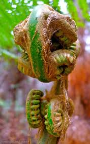 native plants hawaii hāpuʻu or hawaiian tree fern did you know big island trivia and