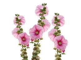 Hollyhock Flowers Free Photo Garden Mallow Blossom Wild Flowers Hollyhock Flower