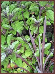 basil the king of herbs dave s garden