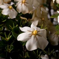 Most Fragrant Plants Southern Living Plant Collection 2 5 Qt Scentamazing Gardenia