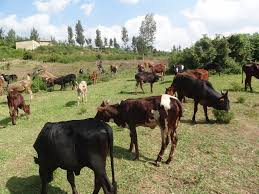 distribution of cows in gatsibo district as part of girinka