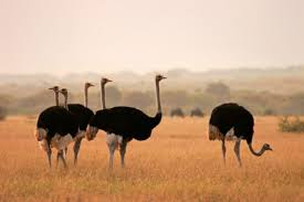 why ostriches can u0027t fly