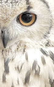 white owl 2 wallpapers best 25 owls ideas on pinterest baby owl beautiful owl and