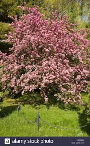 flowering crab apple tree in canada stock photo