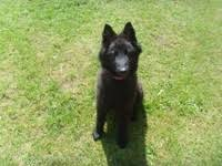 belgian sheepdog laekenois belgian shepherd dog groenendael stud dogs available now breed
