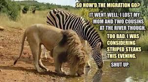 Lion Meme - lion and zebra meme by zorathetwilightdrake on deviantart