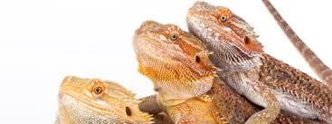 behaviors bearded dragons meaning