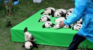 pandas bebes en el mundo archives tkm méxico