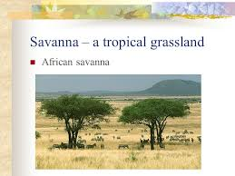 Tropical Savanna Dominant Plants - grasslands and chaparral arid and semi arid biomes ppt download