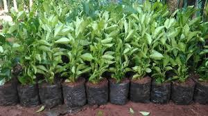 Teh Tehan jual bibit pohon teh tehan pagar jual tanaman teh tehan jual