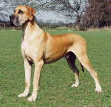 Blind Great Dane View Topic I Will Not Bow Open Alley Dog Rp Needs Members