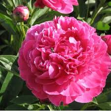 Names And Images Of Flowers - bagbani