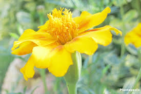 tagetes marigold flower information how to plant grow and care