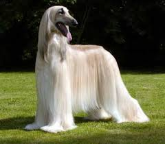 afghan hound utah dogs breed db what breed is it
