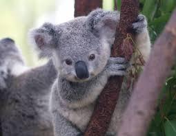 koalas have human like fingerprints