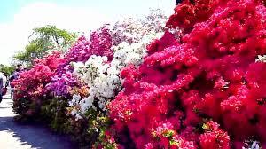 japan flower tunnel most beautiful flower wisteria tree tunnel japan youtube