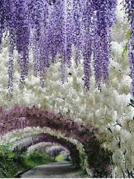 japan flower tunnel these pics of japan s wisteria tunnel are straight out of a