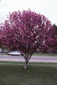 flowering crabapple trees 7 424 extensionextension