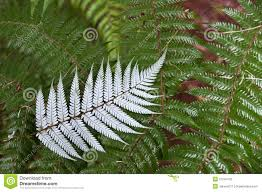 new zealand native plants silver fern new zealand stock photos image 21544163