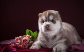 husky puppy dogs roses flowers animals