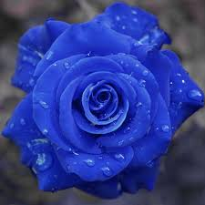 flower pic flower image 34 best beautiful blue rose images on pinterest blue