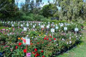 our nursery best roses cottage garden plants for perth