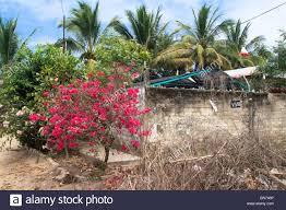 Concrete Block Garden Wall by Bougainvillea Tree In Bloom Beside A Concrete Block Wall Hiding A