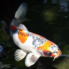 Types Of Fish For Garden Ponds - 250 best koi and fish ponds images on pinterest fish ponds koi