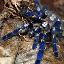beautiful spider gooty sapphire ornamental tarantula