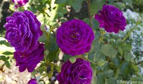 purple roses purple roses special guidelines for growing and gardening