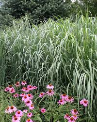 ornamental grasses 10 great ones for your garden