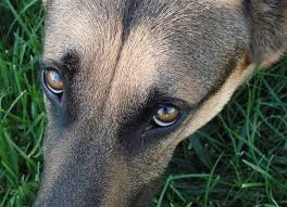 australian shepherd eye diseases this genetic condition could affect your german shepherd u0027s