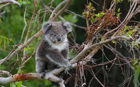 trees koalas conserving manna gum woodlands