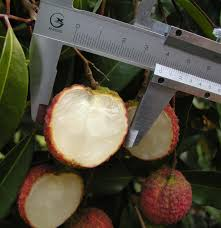 lychee fruit inside jason nursery fruit trees landscape trees chinese plants bonsai