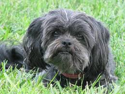 affenpinscher hawaii combai dog breed standards