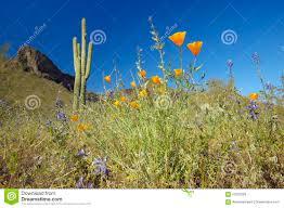 poppy flower in blue sky saguaro cactus and desert flowers in