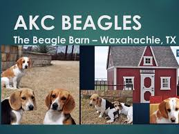 the beagle barn waxahachie tx puppies for sale