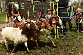 Get Your Goat Rentals unleash the goats st paul to deploy 30 on riverfront to gobble