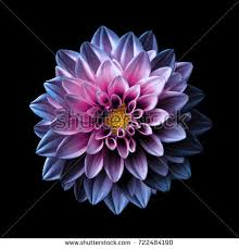 purple flower surreal chrome pink purple flower stock photo 722484190