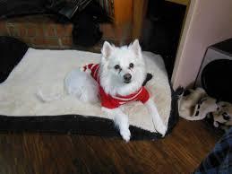 american eskimo dog washington state eskie rescuers united