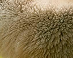 polar bear fur pattern pictures