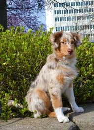 australian shepherd origin 17 best images about pups on pinterest sweet australian