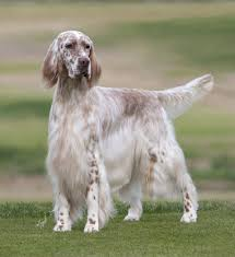 types of setter dog breeds english setters show working types english setters and dog