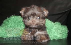 affenpinscher puppies for sale in ohio puppies for sale huntington long island ny bowwow babies
