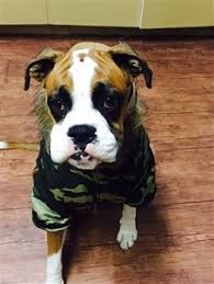 boxer dog howling boxer dog clothing why it u0027s needed and great options