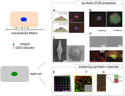frontiers human pluripotent stem cells on artificial